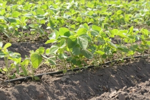 Soy and Climbing Beans Commercialization (SoCo) Project