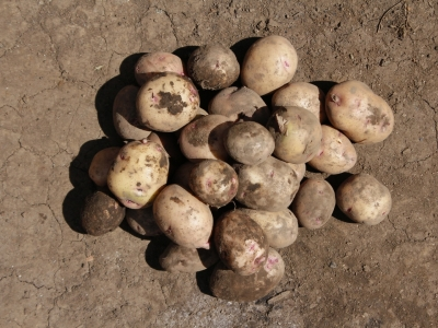 Irish Potatoes Production at Kyengia Commercial Village