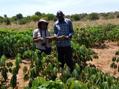 Cassava for food security and resilience in Arid and Semi-Arid regions: Smallholder farmer increases acreage under drought tolerant cassava by 100%