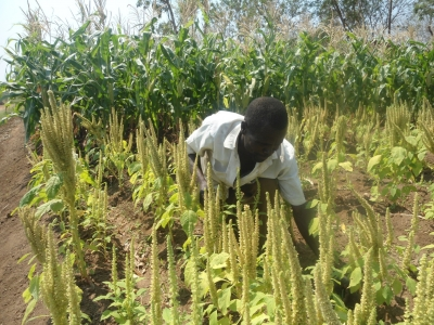 Cashing in from Traditional African Vegetable Seed Multiplication