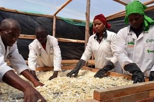EAST AFRICA | Cassava Village Processing Programme (CVPP)
